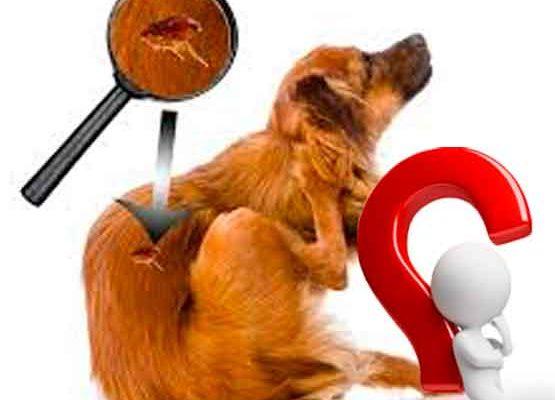 Como Eliminar as Pulgas do Seu Cachorro?