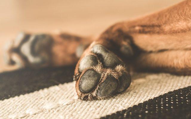 Como decorar a casa sem riscos para o seu animal de estimação