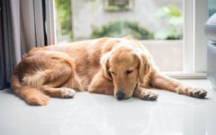 O que fazer se o seu cão comeu produto de limpeza doméstico