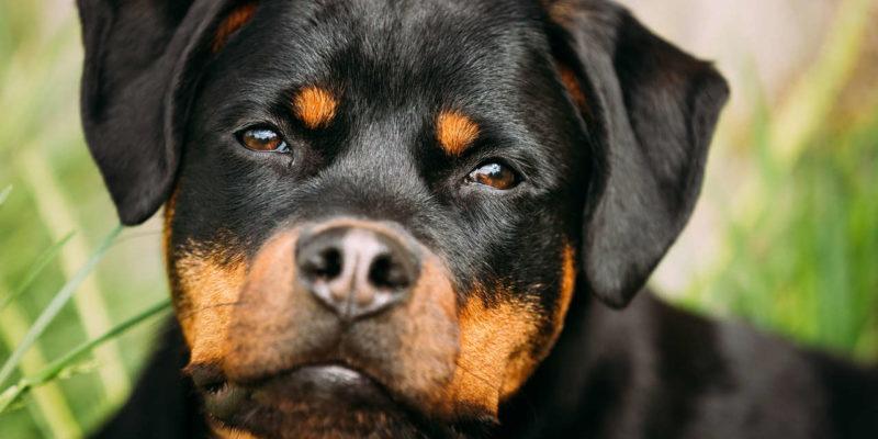 Os 6 cachorros de raças alemãs mais famosos no Brasil